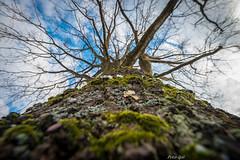 Eiche - Reisnagel (Peter Goll thx for +8.000.000 views) Tags: 2018 dechsendorf erlangen fasching faschingsumzug germany natur eiche oak tree baum stamm sky himmel nikon nikkor d800