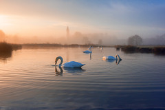 stour valley swans_2004 (mistycrow) Tags: swan swans water reflections river stour valley meadows sunrise fog mist mistycrow misty birds landscapes suffolk sudbury