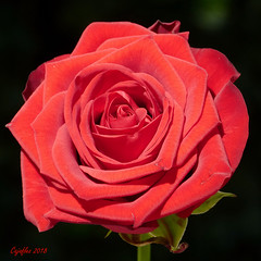 Sunday rose (Cajaflez) Tags: rose roos rood rouge red bloem fleur blume coth5 ngc npc