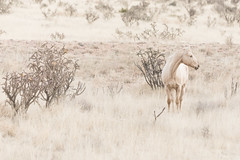 blending in (KClarkPhotography) Tags: fortdavis texas unitedstates us equine horse palomino taupe beige west fine art photography