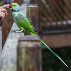 No Chewing On Wood Rails (lycheng99) Tags: chewing parakeet longtailed animal bird hongkongpark hongkong wildlife garden
