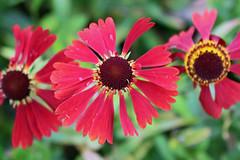 Helenium 'Moerheim Beauty' - Kew Gardens (Ruud de Block) Tags: kewgardens ruuddeblock royalbotanicgardens compositae asteraceae heleniummoerheimbeauty helenium moerheim beauty