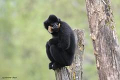 Gibbon à favoris roux_MIKADO (Passion Animaux & Photos) Tags: gibbon favoris roux crested yellowcheekedgibbon nomascus gabriellae parc animalier saintecroix france