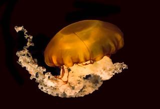 Chrysaora Fuscescens (Pacific Sea Nettle)