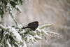 Living in a winter fairy-tale (3) (Inka56) Tags: 7dwf fauna blackbird tree snow icicle winter