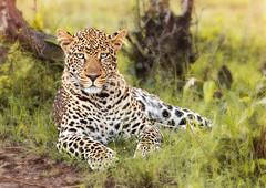Male Leopard with blue eyes (Photobirder) Tags: maleleopard masaimara kenya eastafrica blueeyes