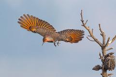 Northern Flicker (X7C_2875-2) (Eric SF) Tags: northernflicker flicker woodpecker coyotehillsregionalpark fremont california flying