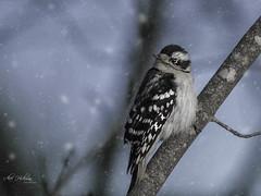 Winter Woodpecker (Alec_Hickman) Tags: woodpecker bird wildlife nature beauty colours snow winter canada tree branch sky blue grey animal feathers nikon d500 200500 telephoto zoom