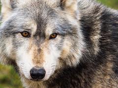 berkshire-2-120118 (Snowpetrel Photography) Tags: berkshire olympusem1 olympusm40150mmf28 ukwolfconservationtrust conservation nature widlife winter wolf wolves beenham england unitedkingdom