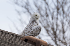 Snowy Owl gives a fun look