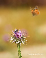 Expecting Company? (Holfo) Tags: cyprus butterfly nature insect bug nikon d5300 thistle macro flower plant