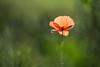 Another poppy - nog eens een klaproos (de_frakke) Tags: coquelicot klaproos poppy bloem flower rood mohnblume amapolawildflowerbokeh