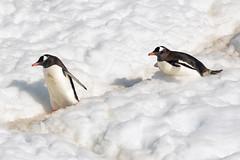 Brown_2017 12 11_2820 (HBarrison) Tags: harveybarrison hbarrison antarctica antarcticpeninsula paradiseharbor brownstation gentoopenguin taxonomy:binomial=pygoscelispapua arctic antarctic arcticantarctic