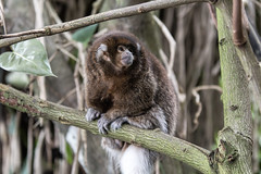 Titi Monkey at National Zoo (dckellyphoto) Tags: 2018 washingtondc washington districtofcolumbia nationalzoo zoo animal smithsoniansnationalzooandconservationbiologyinstitute canon1300d canonrebelt6 monkey titimonkey callicebusdonacophilus primate smithsonian