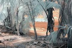 Infrared Cahuita National Park (161) (Beadmanhere) Tags: costa rica cahuita national park infrared