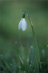 Single Snowdrop (Paul Hayman) Tags: snowdrop flora winnersh meadows wildlife nature dew flower february 2018 sony a6000 ngc