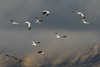The Snow Geese Are Coming.... (Amy Hudechek Photography) Tags: snow geese landing colorado amyhudechek nikond500 incoming storm clouds mountains delta nature wildlife 3