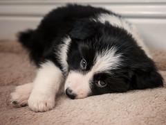 Missy (davepickettphotographer) Tags: bordercollie collie puppy puppies uk portraits portraiture