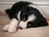 Missy (davepickettphotographer) Tags: bordercollie collie puppy puppies uk portraits portraiture