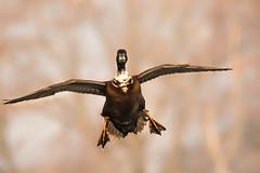 shaky landing (jeff.white18) Tags: duck bird flight fly wings feathers wildlife nature nikon langford wild flickr