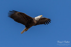 Bald Eagle approach and landing - 12 of 27