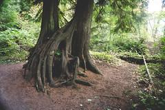 Trees in Stanley Park - Bäume in Stanley Park (hannesvogel) Tags: vsco kanadareise ort stanleypark pflanze stadt park livingincanada baum reisen travel tree vancouver britishcolumbia kanada ca