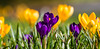 Spring Memories (The Crewe Chronicler) Tags: spring springbulbs springflowers crocus crocuses canon canon7dmarkii crewe cheshire grass nature naturalworld