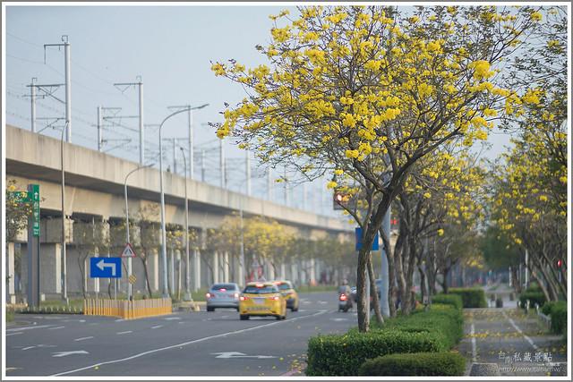 南科 黃花風鈴木 新市區.台南私藏景點 (3)