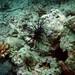 blacklionfish1