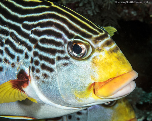 Yellow-banded Sweetlips, Plectorhinchus lineatus, Komodo, Indonesia
