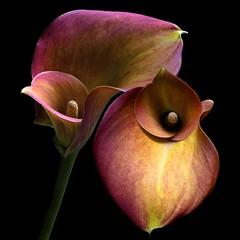 Calla Lilies (Pixel Fusion) Tags: calla lily flower flora nature macro nikon d600