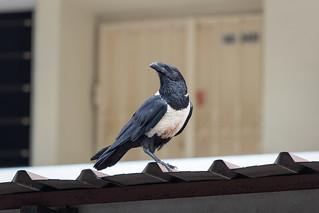 Pied Crow in the neighbourhood