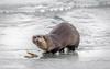 Efficient Fisher (eddm1962) Tags: ynp yellowstone yellowstonenationalpark otter fishing efficientfisher lamarriver feedingotter