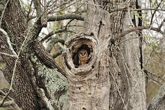 Barn Owl (Rob Keulemans) Tags: 2017 krugernationalpark barn owl kerkuil hollow tree birdsofprey