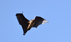 Indian flying fox (praveen.ap) Tags: indian flying fox indianflyingfox flyingfox greater fruit bat greaterindianfruitbat fruitbat satyamangalamtigerreserve satyamangalam