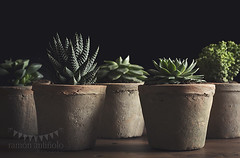 Succulents in low key (Ramón Antiñolo) Tags: botanical botany gardening green hobby houseplant interior leaf minimalism nature ornamental plant pot retro simple succulent vegetation vintage wooden low key