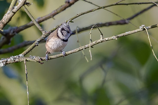 Crested Tit_w_4446