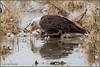 One for the Eagle 7007 (maguire33@verizon.net) Tags: bosquedelapache bosquedelapachenationalwildliferefuge baldeagle bird birdofprey raptor wetlands wildlife sanantonio newmexico unitedstates us