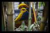 Bower Bird (Seeing Things My Way...) Tags: bird plumage feathers preening bowerbird australianbirds tarongazoo zoo aviary