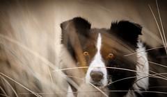 Angel Eyes (JJFET) Tags: border collie dog sheepdog
