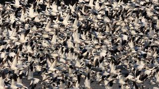Flock of Snow Geese