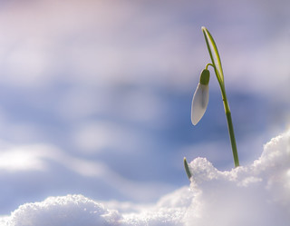 Snowdrop and Snow