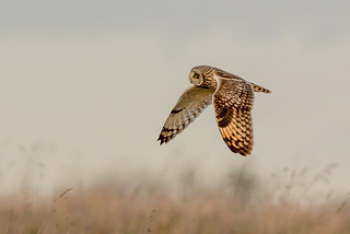 DSC0225  Short eared Owl..