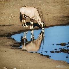 27102007-IMG_4858-Modifier (mg photographe) Tags: oryx namibia namie africa afrique mare bleu blue