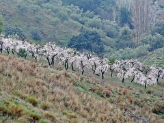 all in a nice row (theodehaan) Tags: spain andalucia axarqia winterscene almondtree pinkblossom