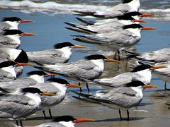 Birds of a feather (thomasgorman1) Tags: birds seabirds flock sea shore nature canon outdoors baja mexico cortez