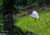 Great White Egret (dbking2162) Tags: egrets herons wildlife birds nature south carolina