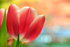 Soon (James_D_Images) Tags: tulip flower pink white stilllife bokeh spring closeup