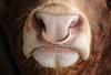 Bull Nose (Raphooey) Tags: gb uk england berkshire cattle farm farming bull nose snout copper ringbristle briostles nostril nostrils mouth canon eos 80d