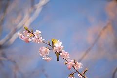 _DSC0822.jpg (plasticskin2001) Tags: mejiro sakura flower bird